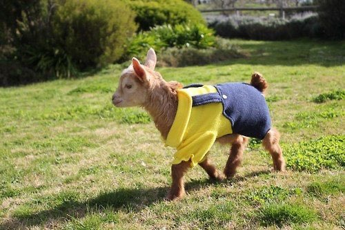 Baby Goat in Overalls '20pic.twitter.com/So9BApzBGs