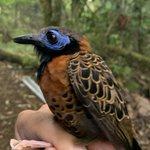 Image for the Tweet beginning: Bird banding this week on