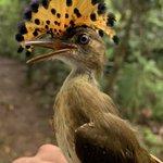 Image for the Tweet beginning: Bird banding this week on