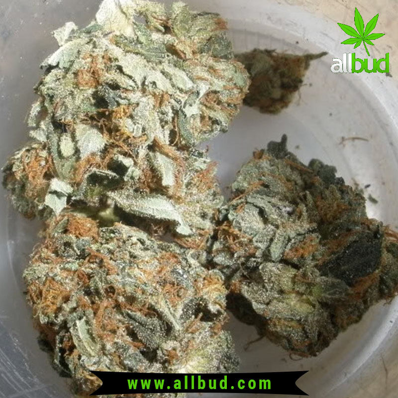 White Rhino is a potent Indica strain, and is easily recognizable with its short to bushy, light green to dark green leaves.  #allbud #White #Rhino #Strain #marijuana #weed #hemp #hybrid #sativa #indica #medical #use #enjoylife #healthy #cannabis #weedlife