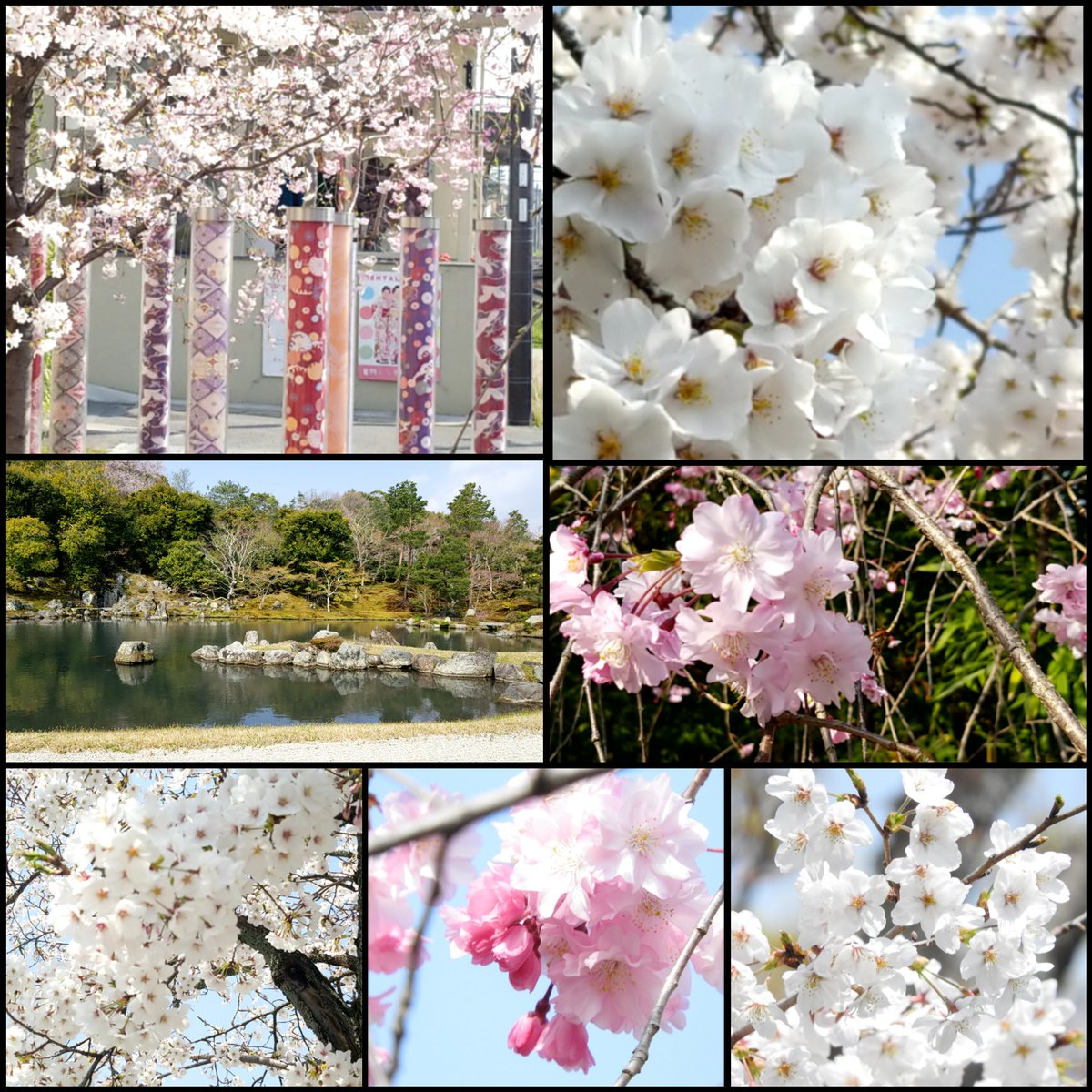 #京都 #花見 定期的に募集してたけど現状を考えると・・。 3、4月がピークとされてるし。  でも、数年以内にソメイヨシノは見れなくなる。って聞いたし。 樹木の寿命が約60年だからだそう。  興味あるフォロワーさん居ますか? 4/4 or 11です。  ※各自で交換用含め2,3枚マスク持参でお願いします。