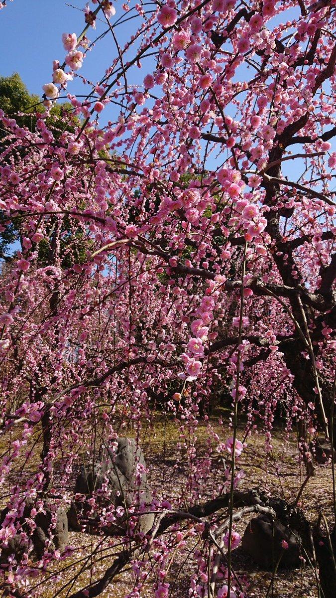 おはようございます。 京都東山は晴れ☀ ☆城南宮の「しだれ梅」が見頃を迎えてます🌺 メジロ君も飛んでます✨ 今日は天気が良いので、たくさんの人が訪れそう。 🚙車で行く方は開園時間前に❗ #京都 #城南宮 #枝垂れ梅 今日も笑顔でFightです🌺 ☆たて写真あり
