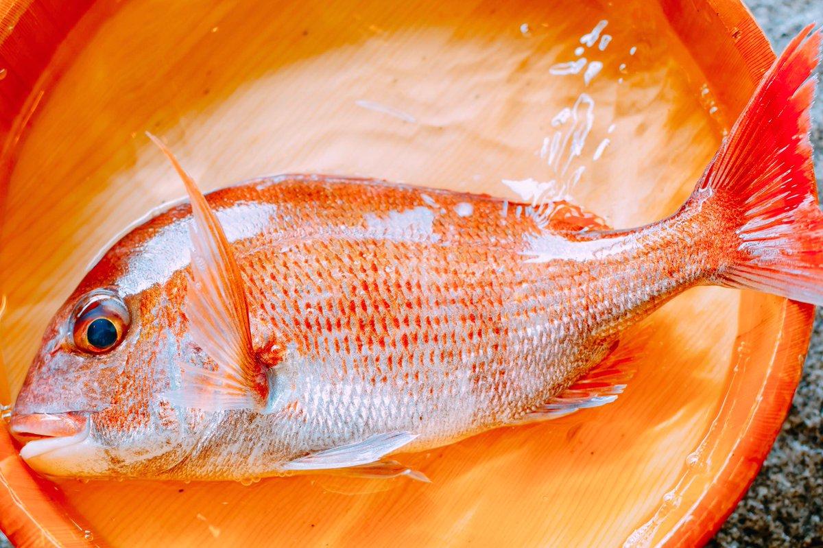 本日も鯛が大漁です! 栄養を蓄えたこの時期の鯛は本当に美味しい! 目の周りのブルーや体の斑点がお化粧してるみたいですね。  #今治 #しまなみ海道 #千年松  #瀬戸内海 #旅館 #shimana #imabari #japan #hotel #travel