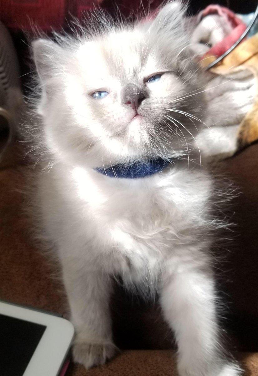 #Ladies and #Gentleman, the #Posing is #Strong with this one. #Floof #Level - #100%   #Cats #Cat #Kittens #Kitten #Kitty #Pets #Pet #Meow #Moe #CuteCats #CuteCat #CuteKittens #CuteKitten #MeowMoe     .