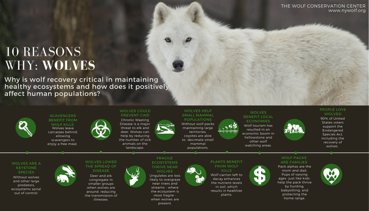 Ten reasons why wolves are essential 🐺