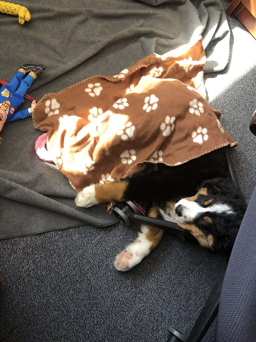 Sometimes you need to snuggle with a blanket when things get too tough at the office. #dogsoftwitter #workerbreed #bernesemountaindog pic.twitter.com/5td0S06JJL