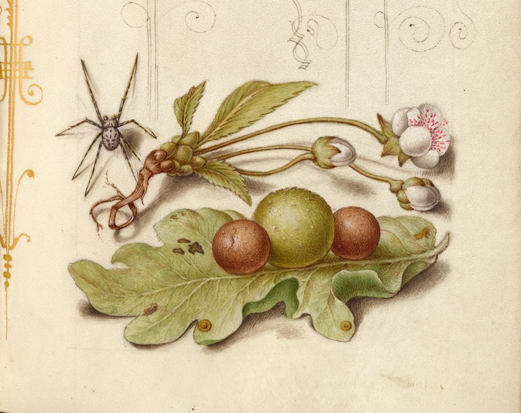 Spider, Sweet Cherry Flower, and English Oak Leaf with Galls. Joris Hoefnagel, Flemish, 1561-1562. GettyMuseum. #Spiderday #art #botanypic.twitter.com/RRZ9SraGKb