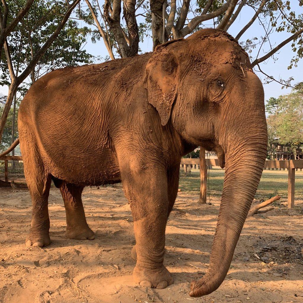 "Mae Si says ""sawadee ka!"" to us on this beautiful Chiang Mai morning. #elephant #travel #chiangmai #thailand #volunteer #elephantrescue #animalsanctuary #elephantnaturepark pic.twitter.com/tGPwQBMstS"