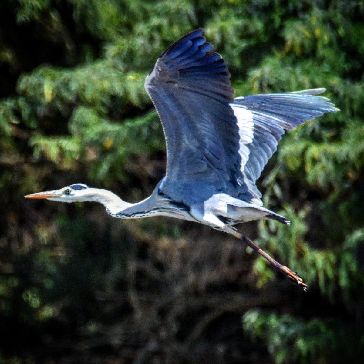 Grey Heron Location #Bahra #Makkah Region #SaudiArabia #birds #photooftheday #wildlife #nature #naturephotography #photography #photographer #amazing #travelblogger #birdsphotography #tourism #beauty #wildlifephotography #photo #ksa #beautiful @SaudiMagazine @IASArabia @SapracOrg