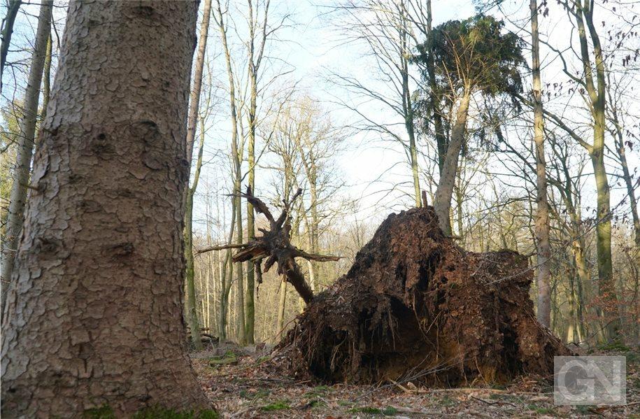 Stürme schwächen Bäume im Bentheimer Wald #GrafschaftBentheim - mehr auf: http://bit.ly/32jV2DUpic.twitter.com/5HzZYppJyx