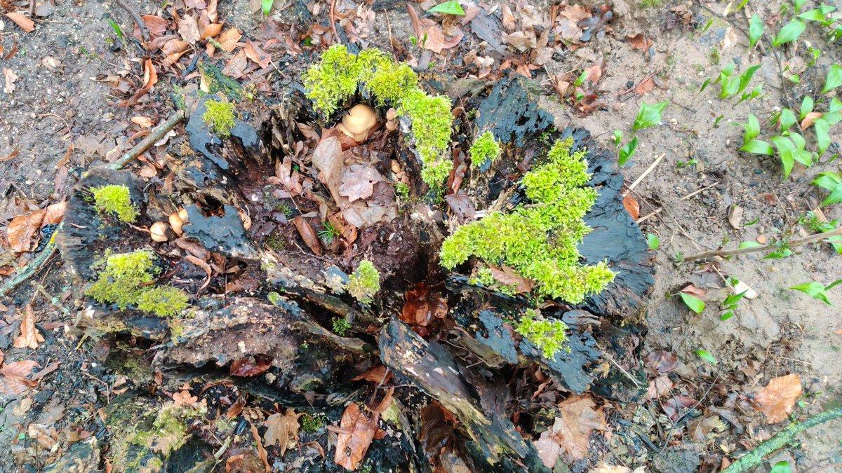 Neues Leben auf altem Baumstumpf; am 23.2.2020 in #Mittelhessen: pic.twitter.com/KgsltfTF1A