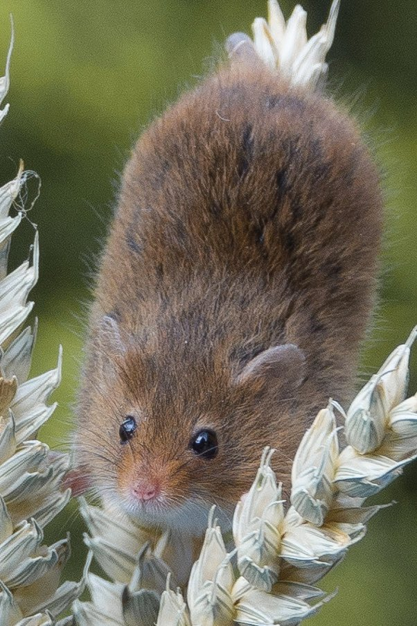Harvest mouse. Which do you prefer? Close up or full shot? Please comment and retweet...