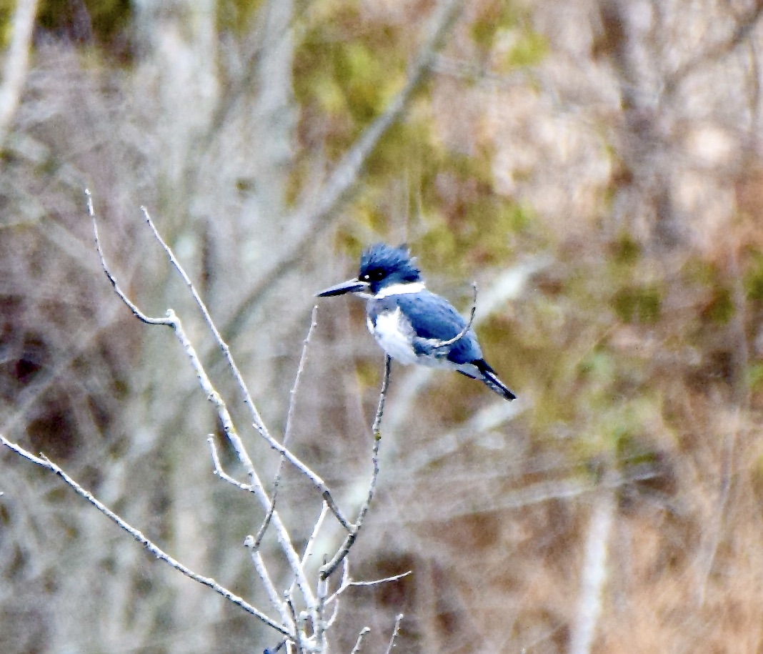 Good morning #ResisterFamily. Go outside and enjoy the wonder of nature. Breathe. Belted Kingfisher (m)