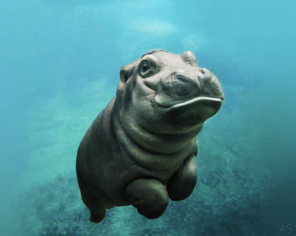 Baby Hippo Says Hello !!! #Hippo #Aww #Cute