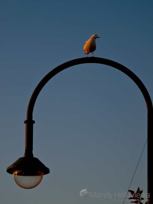 Seagull at sunset in St Kilda -------------- #PhotoOfTheDay #dailyphoto #sydney #visitsydney #sydneypix #seesydney #cityscape #streetscape #streetphotography #urbanscape #instagram #seagulls  See more at https://soo.nr/Bbrs pic.twitter.com/CCyi4muFXT