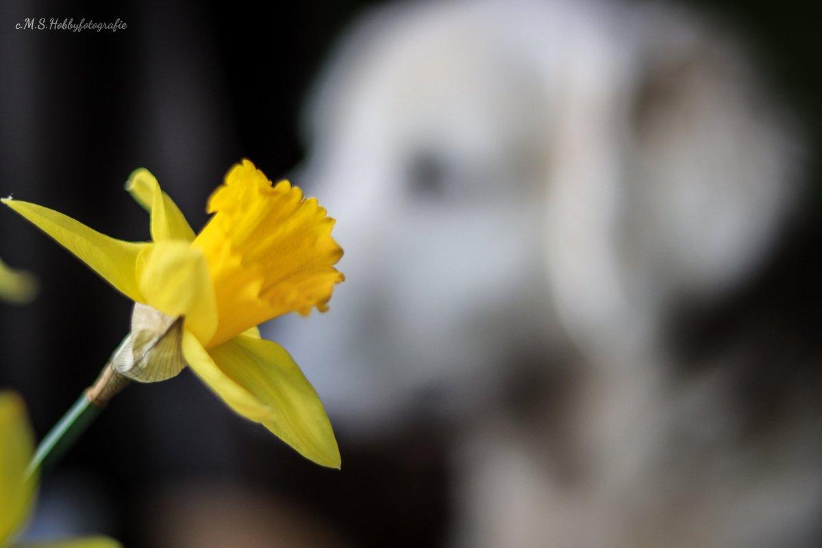 Die Lieblingsbeschäftigung von Linus .... Fenster gucken......  #goldenretrieverdog #goldenretrieveroninstagram #goldenretrieverlove #goldenretriver #geschwister #geschwisterliebe #linusleaundnele #blumen #fenstergucken #nazissen #natur #naturepic.twitter.com/TBJMscZ1D5