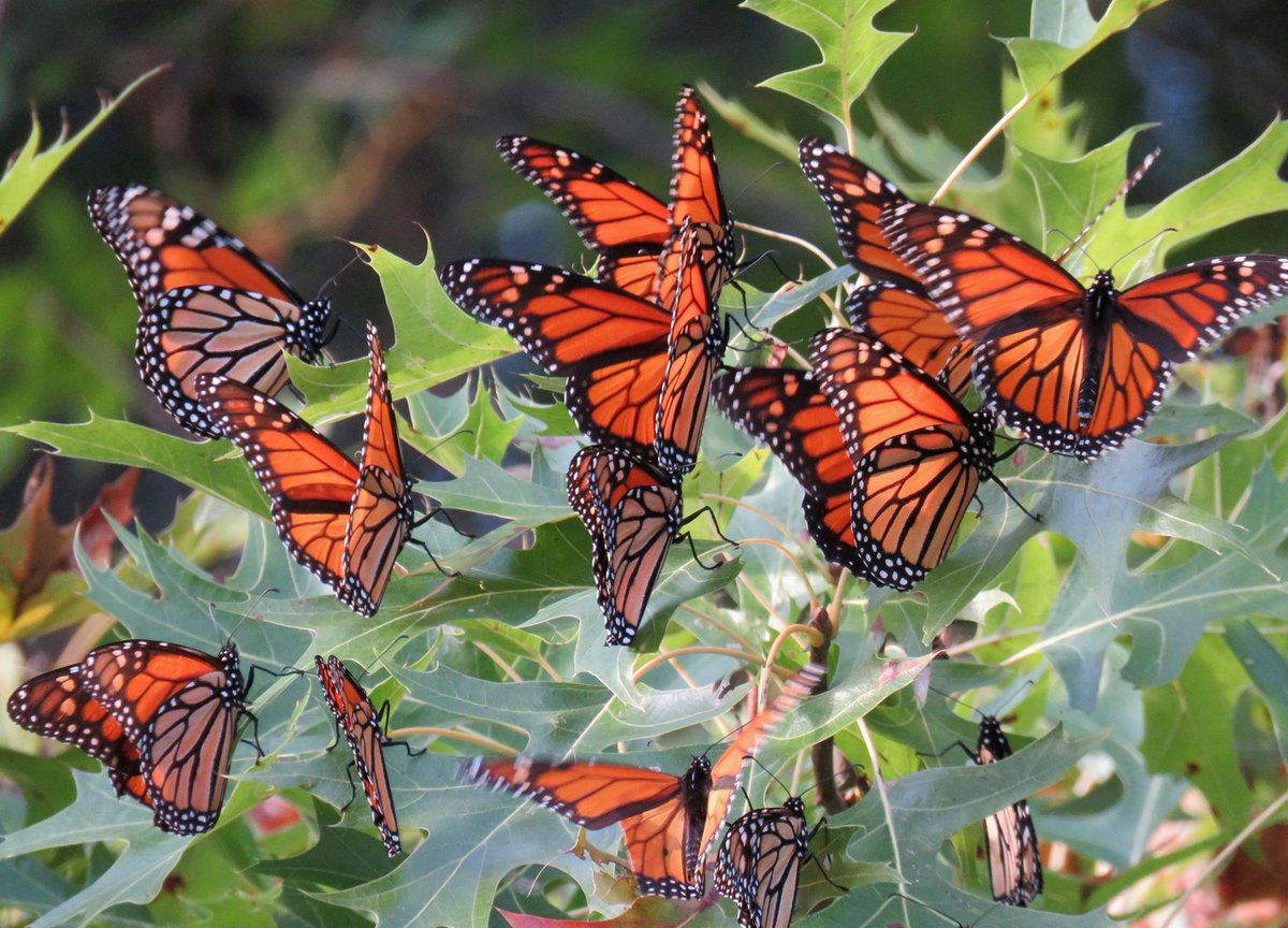 #MondayMorning #Nature #wildlife   Monarch butterfly migration October 2017