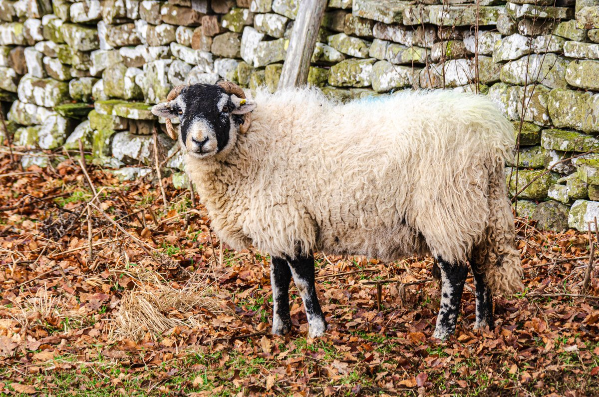 Swaledale Sheep & Sculptures - Newbiggin - Barnard Castle, #England, UK #travel #art In 2002, Keith Alexander created the four sheep sculptures bracketing the Pennine Way trail. We met this Swaledale Sheep on our walk to Low Force.