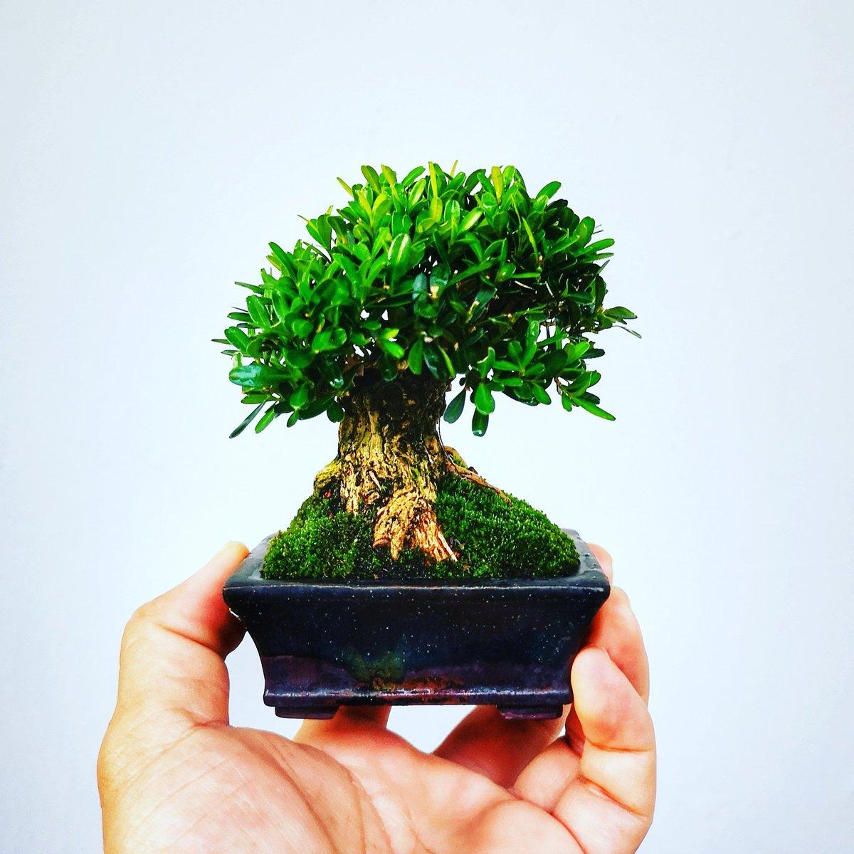 Mini mee  #satsuki #life #mame #plantsmakeyouhappy #shohin #toptags #cute #buxus #senjumaru #kinzu #nature #instafollow #picoftheday #likeme #photooftheday #like4like #instadaily #gardening #flowers #boxwood #bonsai #pyracantha #ipostyoubuy #botakbonsai #小品盆栽pic.twitter.com/qoYm04I7OB