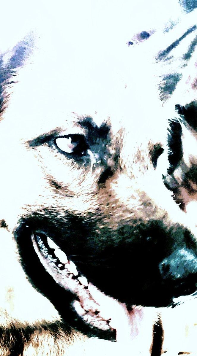 #doggolove . Wunderschöne belgische Schäferhündin. pic.twitter.com/LJKMWXkWdd