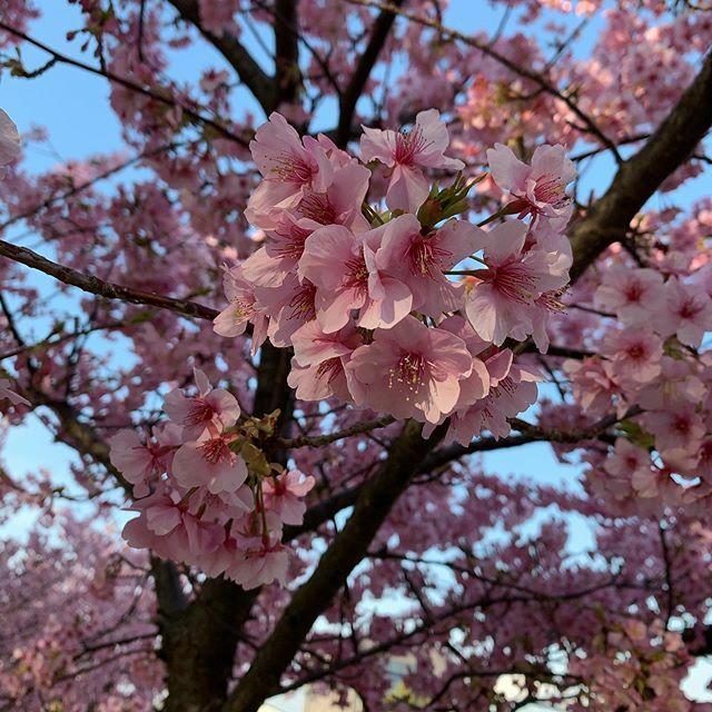 おはようございます( ´ ▽ ` )ノ  連休明けですね。 コロナ、花粉、インフルエンザ、  見えない敵があふれてますね😰  #flowers #春 #Spring  #instagood #japan #instalove #beautiful #iPhone