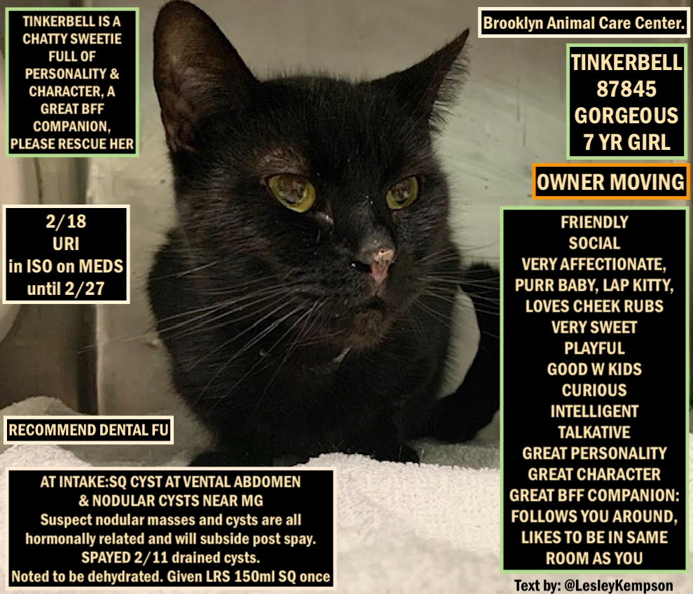 TINKERBELL MUST BE SAVED BY 12 PM NY TIME FEB 25 2nd CHANCE GORGEOUS 7 YR GIRL-O MOVING 2/11 SPAYED W SQ CYSTS DRAINED 2/18, on Rx-2/27 in ISO FRIENDLY V AFFECTIONATE, LAP KITTY VERY SWEET PLAYFUL GOOD W KIDS CHATTY CHARACTER GREAT BFF COMPANION:FOLLOWS U https://www.facebook.com/ACC.OfficialAtRiskAnimals/photos/a.651025165439018/649078852300316/?type=3&theater…pic.twitter.com/BpP63Yz90S