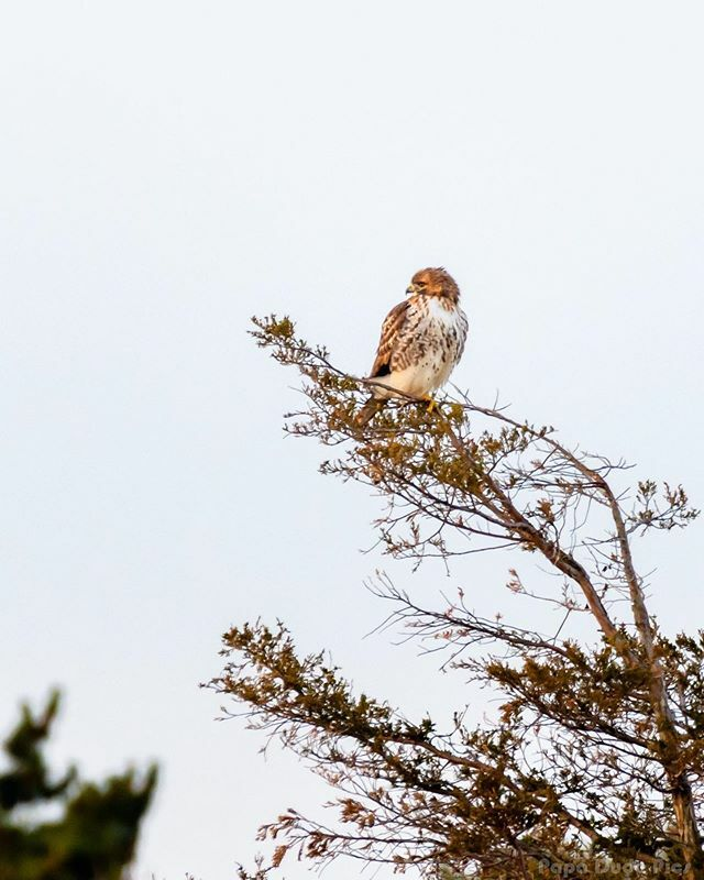 #hawk #hawks #only_raptors  #ignewengland #igersnewengland #igessexcountymass #igersmass #mass  #mynewengland  #Nikon #nikond500  #heyrachellerch #chrissalephoto #everything_home_front #picoftheday #pictureoftheday #route1views #heyrachellerchlive