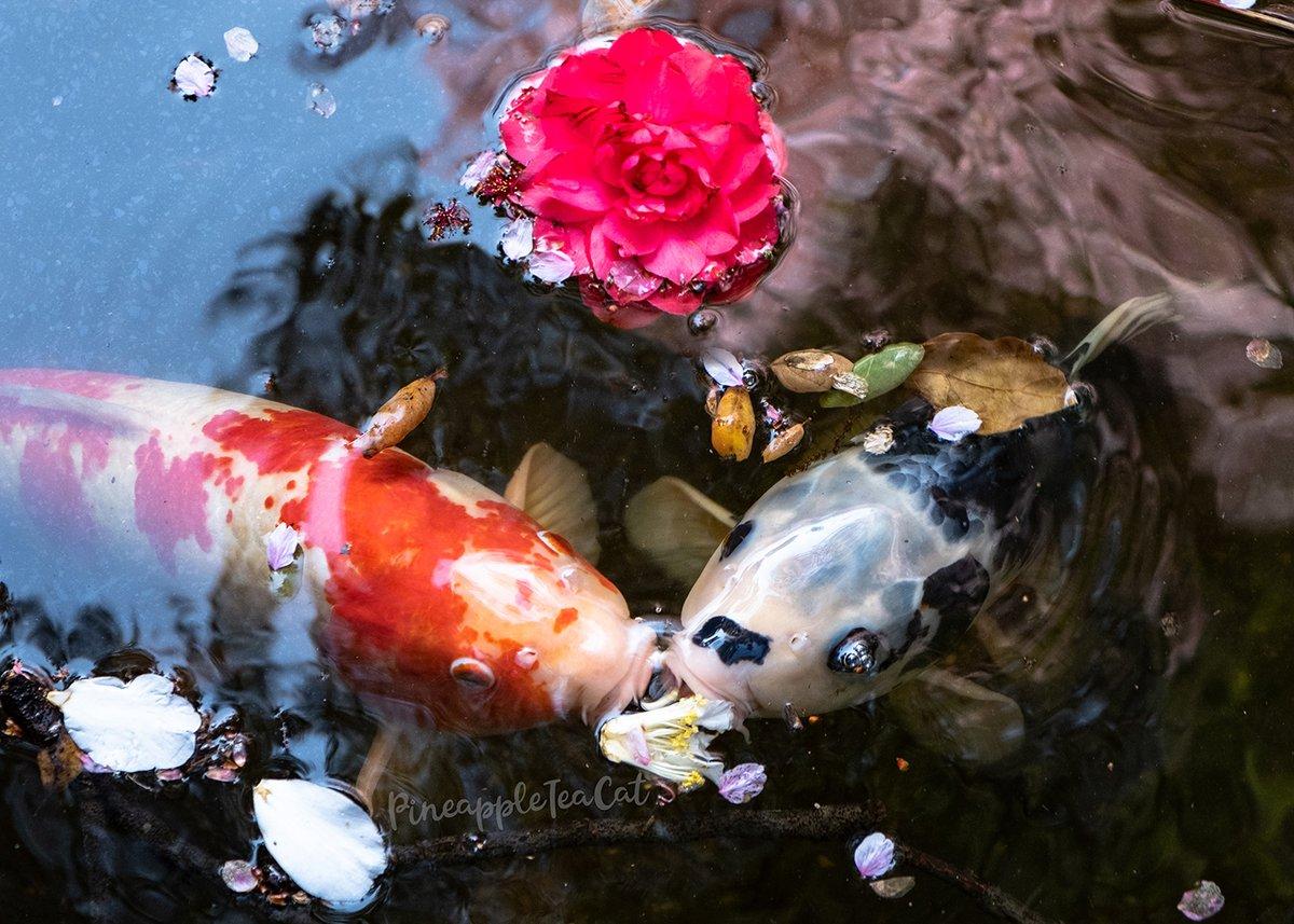 Koi Kisses #DescansoGardens #wildlife #flower #fish #kisses #koi #photography #pond #water