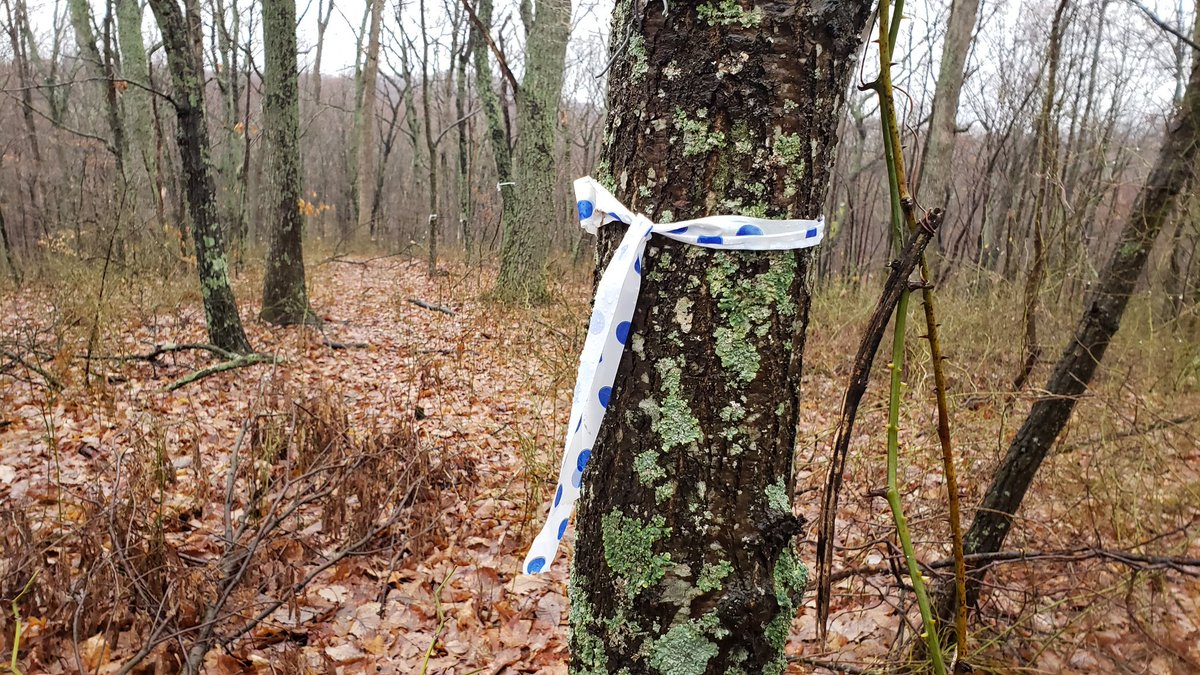 Ready for more logging on the Knobstone? If you want to enjoy the KT one more time at the 26mm go now. Trees are painted and this ribbon marks the reroute. #Sad @INforests @GovHolcomb @FLJanetHolcomb @INTourismAssoc @LillyPad @indystar @WTRLS1
