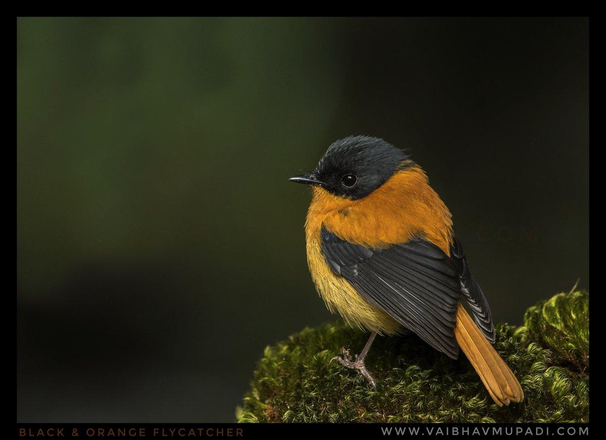 Black & Orange Flycatcher 🕊️ @birdcrazed6 @orientbirdclub @Avibase @BirdWatchIndia @Nature_pixel @SGirl1966 @Natures_Voice @RSPBbirders @NatGeoMag @NikonIndia @AP_Magazine @marktakesphoto @WildlifeMag @BirchettRichard @WildlifeofDay #Flycather #beautiful #naturelover #Twitter