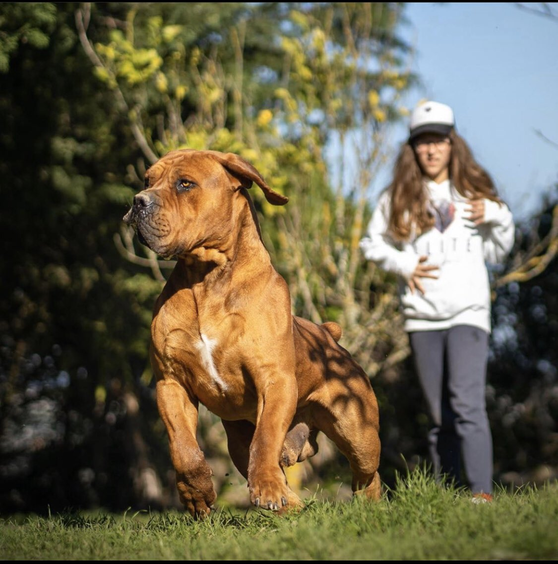 The Boerboel [ˈbuːrbul], is a large, Molosser-type breed from South Africa [2]and are bred for the purpose of guarding the homestead. These dogs were bred as working farm dogs and are one of the most powerful dog breeds in the world and have a bite force of up to 800 psi.[3] Male pic.twitter.com/ivlmzVRp0M