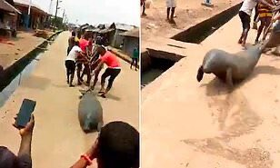 Footage of a manatee being tied up and dragged along a road as it frantically tries to escape sparks outcry in Nigeria dailymail.co.uk/news/article-8…