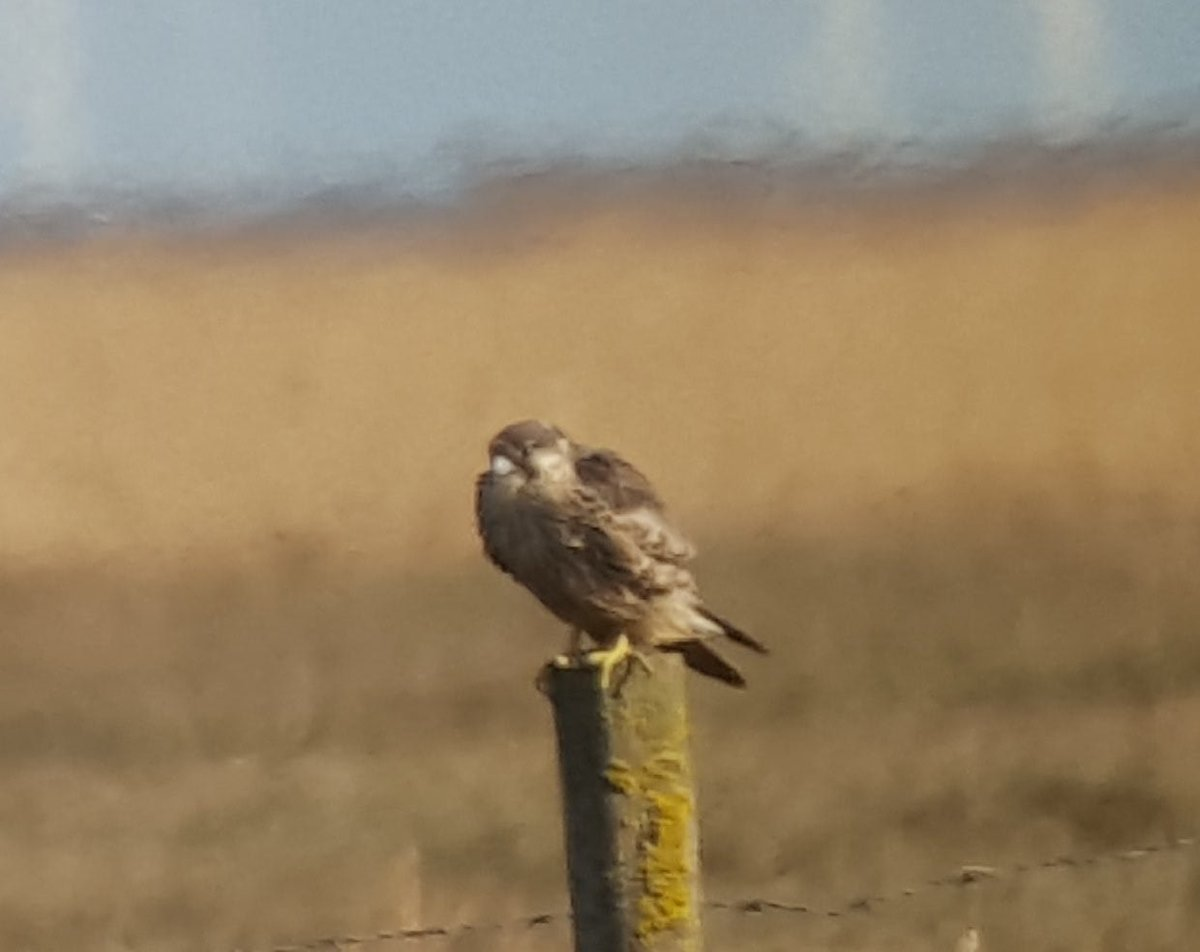 This peregrine on the saltmarsh at Freiston was still in juv. plumage. Very brown and streaky.
