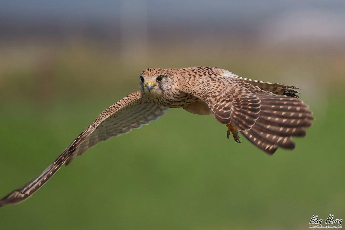 Kestrel Eye Contact in Flight     #nature #photography #wildlife #animal