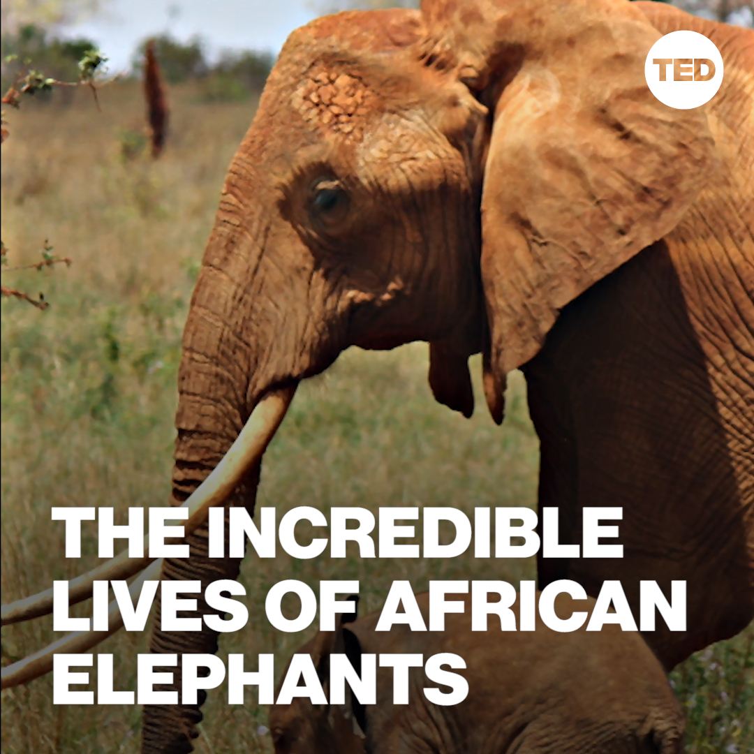 """It was only as recently as the 1970s that we had 1.2 million elephants roaming across Africa. Today, we're edging closer to only having 400,000 left.""   Watch Lucy King's full TED talk to learn about the unlikely ally in protecting elephants — bees:"