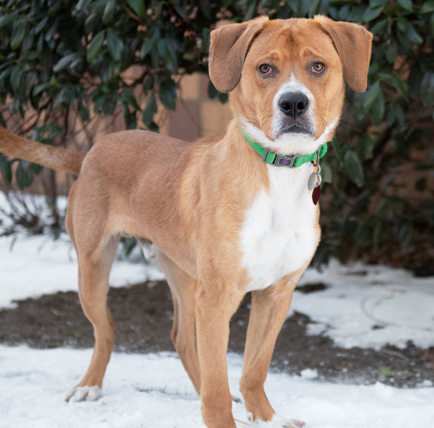 Blu is a young, handsome Labrador Retriever mix. He is friendly and seeks attention from anybody. Blu needs plenty of exercise as he loves to play outside. Blu would love a fully fenced yard in a quiet neighborhood. #DogsOfTwitter #SeniorSunday #GetYourRescueOn #AdoptDontShoppic.twitter.com/bGh1EU6zOI