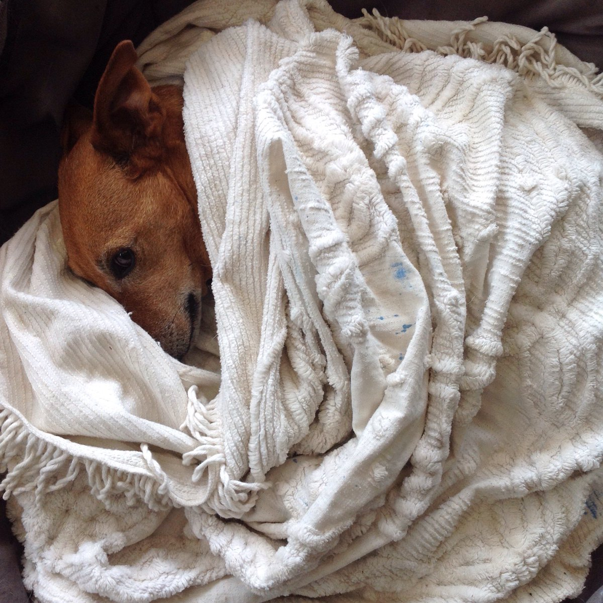 When it's raining and you don't want to get out of bed! #mydog #canberra #rainydaypic.twitter.com/HEOmIiN8r1