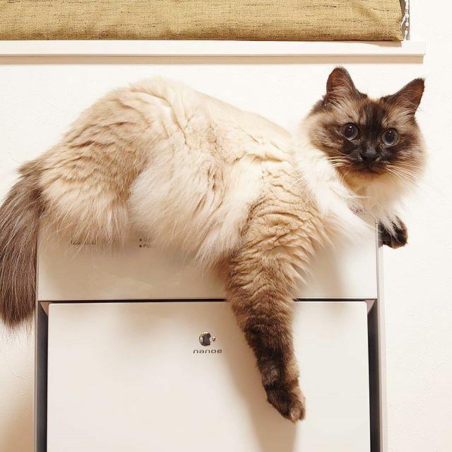 空気清浄機の上にもよく乗るけど、 ギリギリが好きだよね🙄 #ギリギリ好き #ふわふわ猫 #猫式卒業生 #保護猫 #猫のいる幸せ #catlover #cute #rescudedcat #nocatnolife