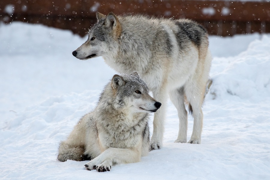 Want the option to bring friends and family to the AWCC for free all year long? Then consider a Wolf Pack Membership! Learn more at https://www.alaskawildlife.org/product/membership-supporting/…  PC of Deshka and Bri: Doug Lindstrand  #explore #wolves #alaska #PicOfTheDay #nikonphotography #naturephotoshoot
