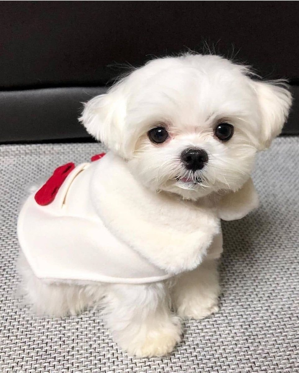 #cute #puppy #maltese