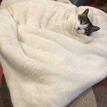 可愛すぎる猫と毛布の画像はこちらテン氏「お布団から出るつもりは毛頭ございません」w