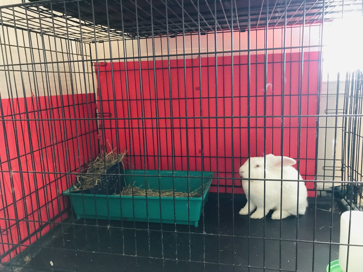 George, enjoying his spiffy new cage backsplash. #rabbit #rabbits #rabbitlife #bunny #bunnies #bunnyrabbit #bunnylife #pet #pets #cute #houserabbit #houserabbits