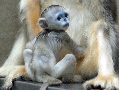 Two hours left for you to #GuessTheInfant! The final hint: this primate is endemic to the Tibetan Plateau in southwestern China. Get your guesses in & stay tuned - we'll reveal the answer at 9PM EST! #PrimatePlaytime #primatweeps #primatology #scicomm  In Cherl Kim/Everland Zoopic.twitter.com/smSjtcvNqS