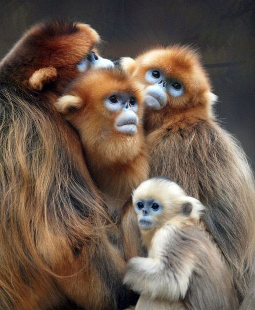 Today's mystery primate is the... golden snub nose monkey! So many got it right or were very close!! Here's an infant with some adults. #GuessTheInfant #PrimatePlaytime #primatweeps #primatology #scicomm  In Cherl Kim/Everland Zoopic.twitter.com/jqIaI8ZZVB
