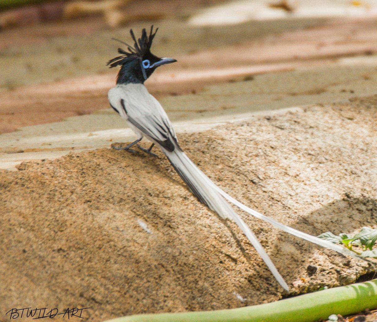 IndianParadise flycatchers r either predominantly bright rufous above or predominantly white  #birdphotography #photoshoot #photographer #photograghy #TravelBlogTips #blogger #tourists #wildlife #beautiful #canon @Canon_India @incredibleindia #naturelover