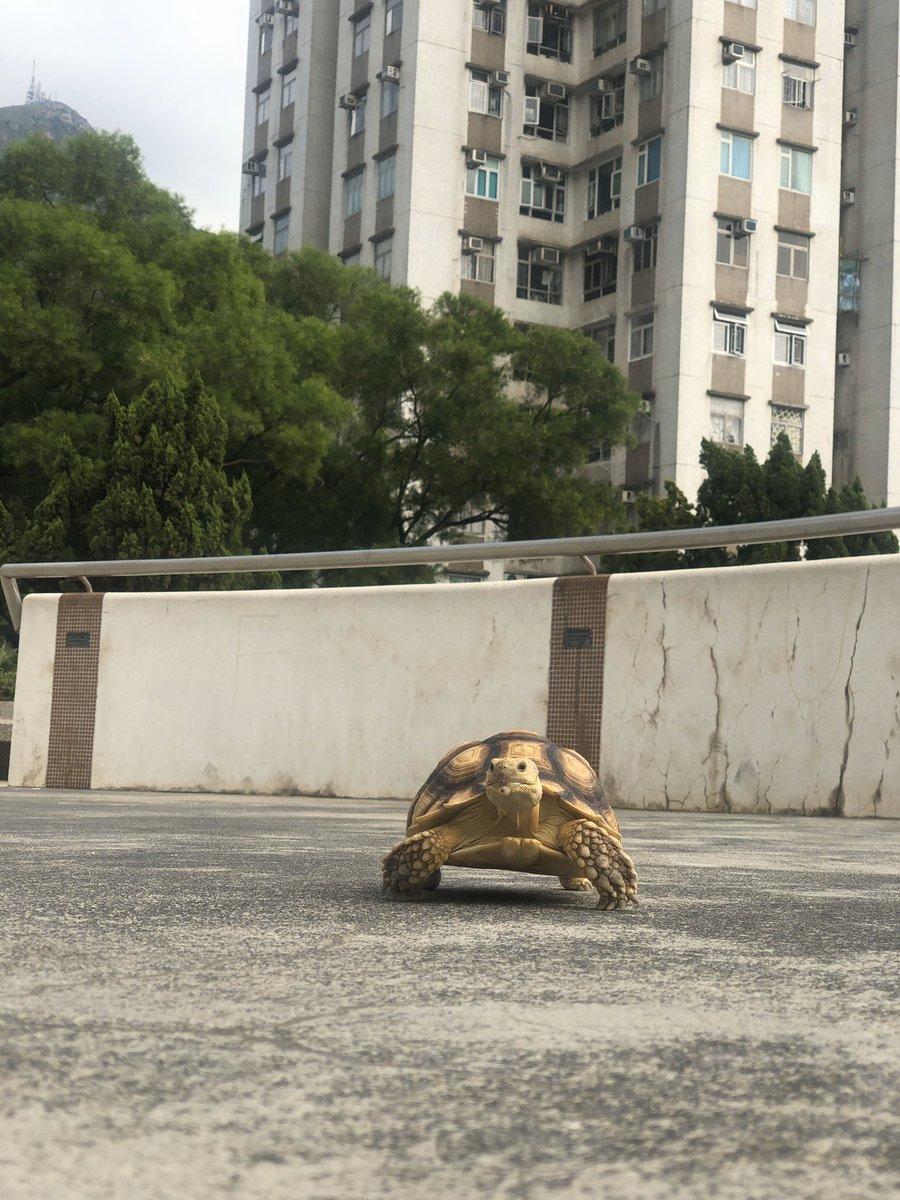 #臭桔 #肥桔 #肥仔桔 #蘇卡達 #盾臂龜 #小桔 #龜 #陸龜 #ケツメリクガメ #turtle #geochelonesulcata #littletank #loveturtles #ペット #カメ #hongkong #tortoises #cuteturtle #instatortoise #reptile #かわいい #photooftheday #9gagcute #eatingshow #爬虫類好き #iphonegrapherpic.twitter.com/V42yR1e7u5