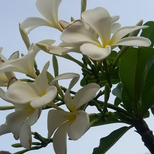 Plumeria Flower Bunch #plumeria #flower #fragrance #chembakam #garden #gardenplants #nature #naturelove #naturelover #naturephotography #kerala #india #indian #godsowncountry #tropical #tropicalplants #planetearth #igerspic.twitter.com/h03vjBW3ov