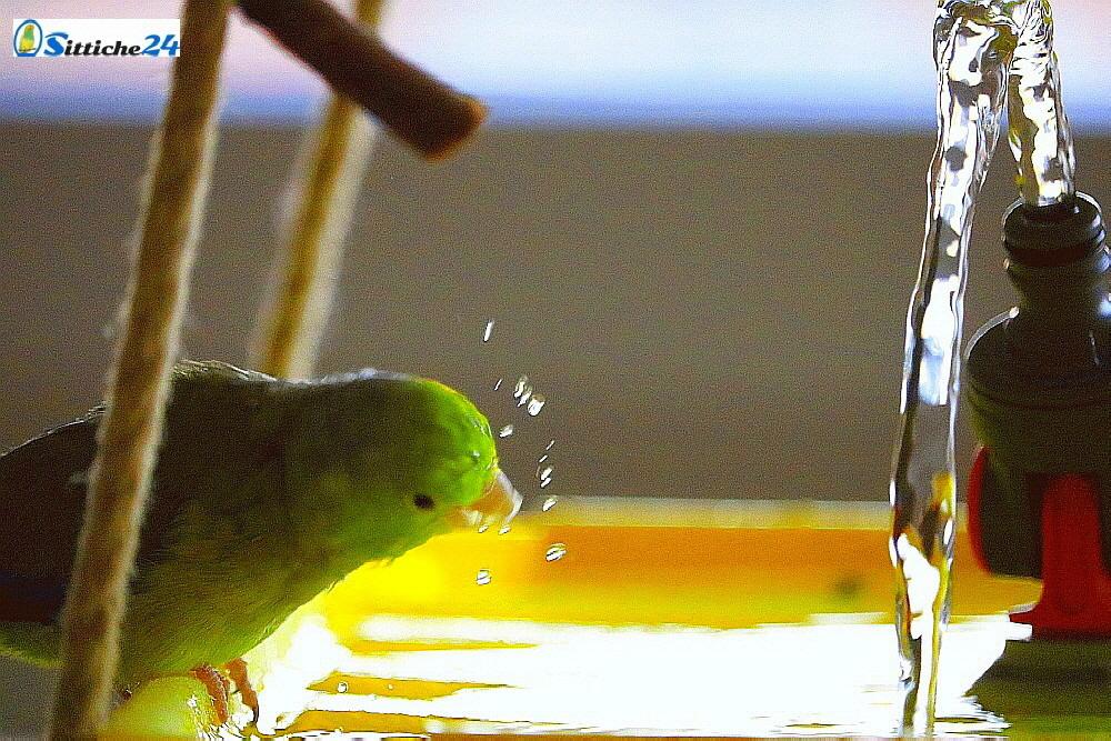 Täglich sauberes und frisches Trinkwasser für gesunde Vögel!  https://www.sittiche24.de/3994/taeglich-frisches-trinkwasser-ist-oberstes-gebot-in-der-vogelhaltung/…  #trinkwasser #vogelhaltung #vogelbeobachtung #ilovebirds #pets #wellies #wellensittiche #tierliebe #haustiere #wasser #gesundevögel #vitalevögel #vogelliebe #birds #vögel #budgie #volierepic.twitter.com/3jLAcQBcRk