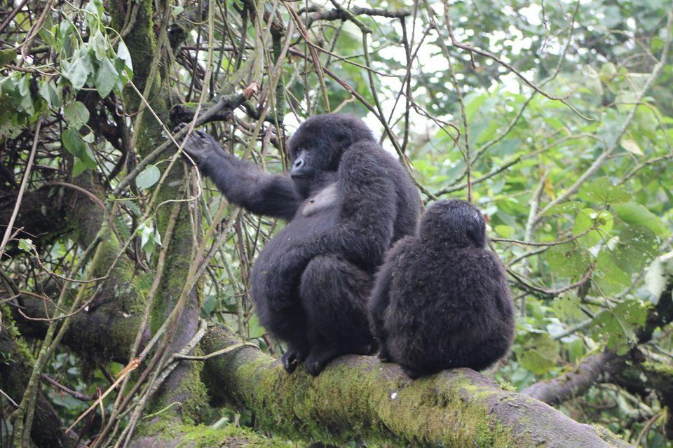 After trekking gorillas you would want to relax, here is a 4 days gorilla trekking safari with a visit to Lake Bunyonyi for relaxation. https://t.co/L9VoUDsxI3 #gorillasafariexperience #4daysbwindigorillasafari #4daysugandagorillasafaribwindi #4daysgorillasafariinuganda https://t.co/8qPMwtuM2D