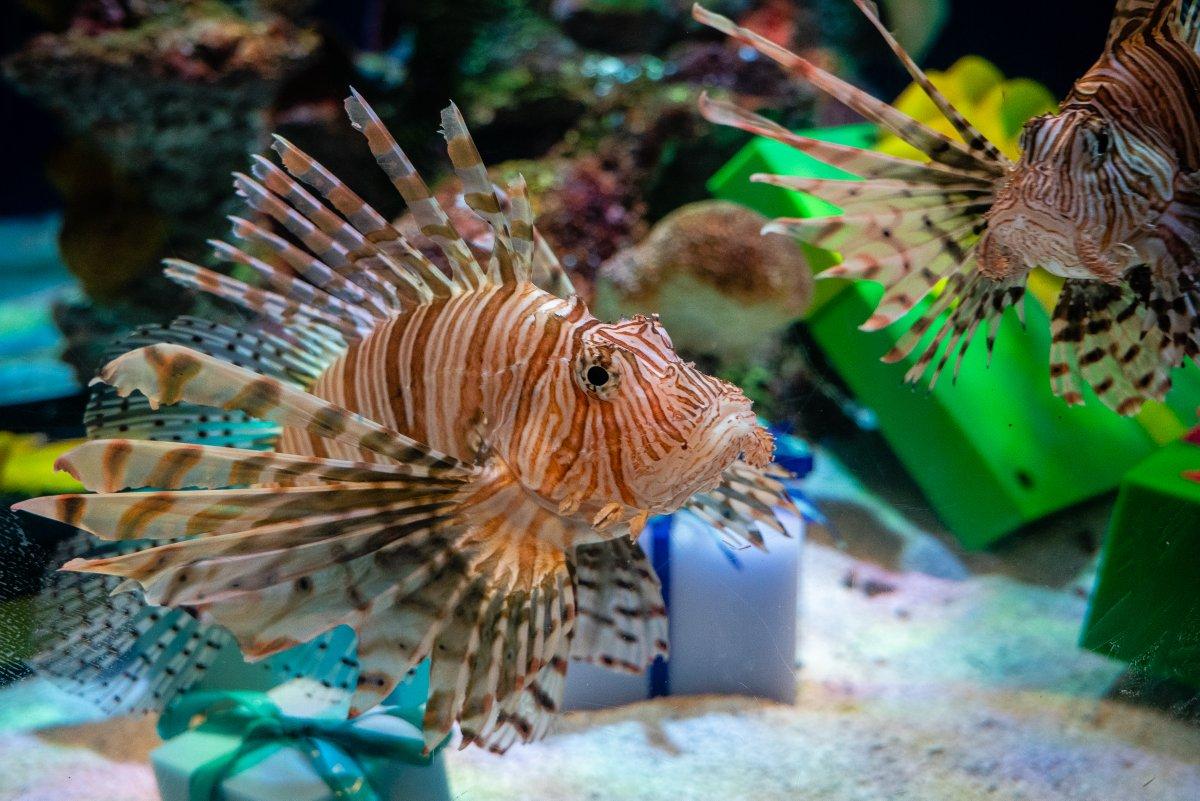 #Lionfish  invasive species threat to #Florida coastal ecosystem #photooftheday #travelphotography #photography #travel #travelphoto #traveltheworld #tourism #travelgram #picoftheday #instatravel #traveling #mytravelgram #travelingram #igtravel #traveler #wanderlust #SonyAlphapic.twitter.com/jnJCy2qvwf